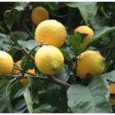 limoni-lunario